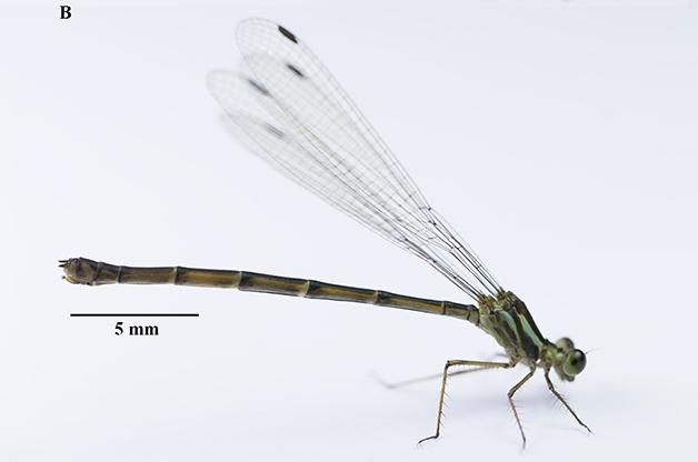 A Heteragrion gorbi, nova libélula descoberta em São Carlos