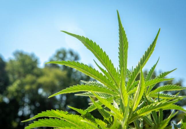 Câmara aprova cultivo de maconha para uso medicinal por empresas