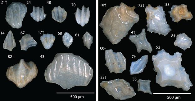 Exemplos dos microfósseis analisados para o estudo
