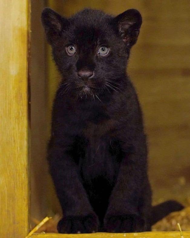 A filhote de onça preta Baby