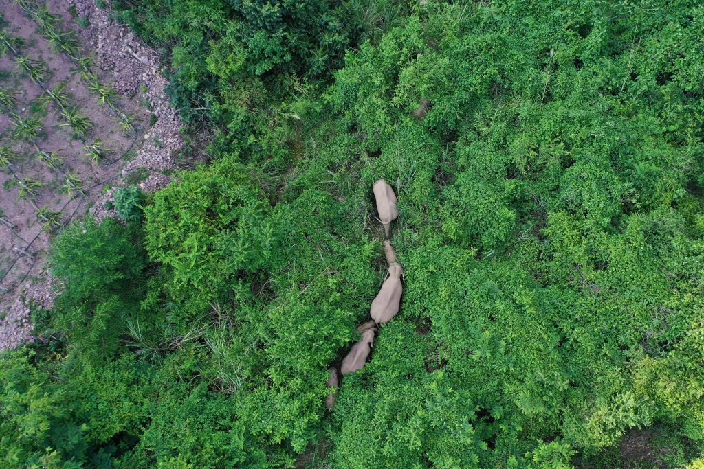 Elefantes percorrem 500 km na China e dão nó na cabeça de cientistas