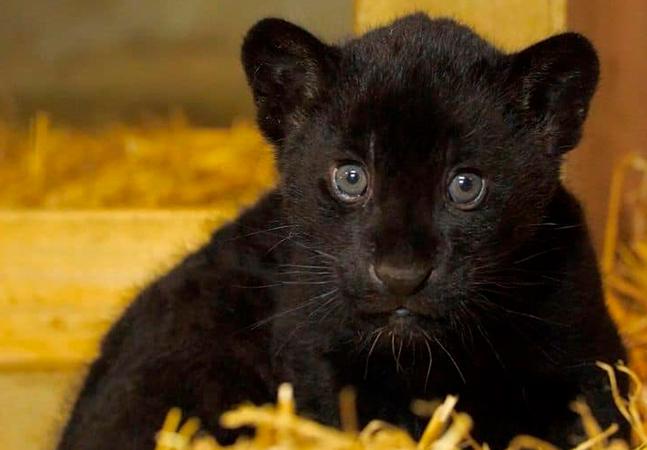 Filhote de onça-pintada toda preta em extinção nasce firme, forte e saudável em santuário na Inglaterra