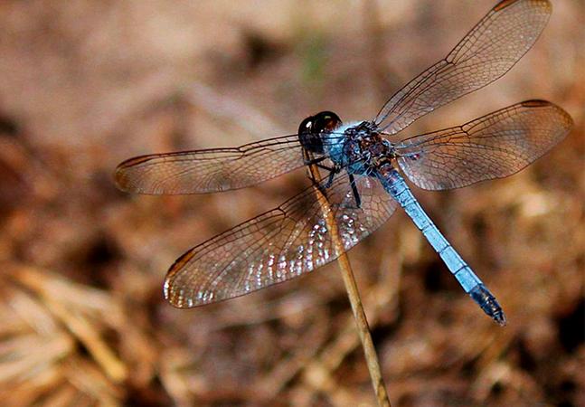 Nova espécie de libélula é descoberta no interior de São Paulo