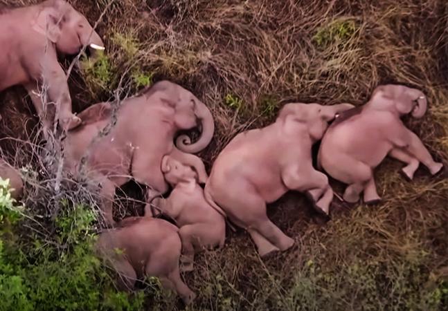 Manada de elefantes selvagens tira soneca aconchegante após uma longa jornada