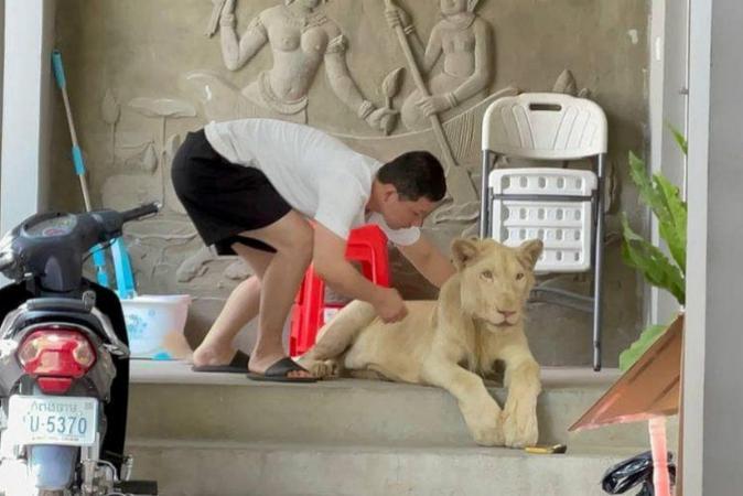 Leão exibido em vídeos no TikTok é resgatado sem garras e caninos