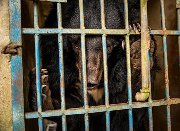Urso preso em fazenda no Vietnã