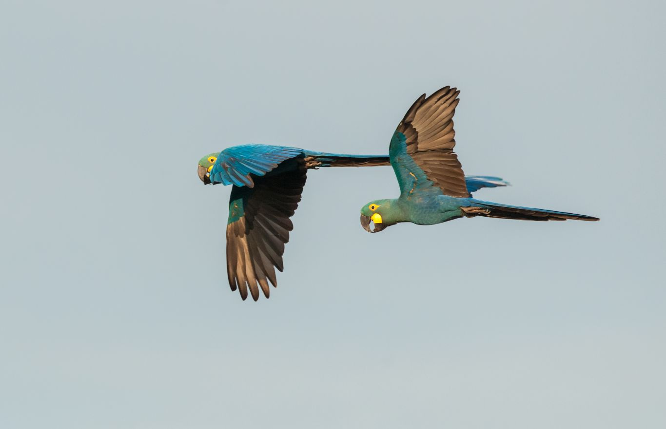 arara-azul Bahia