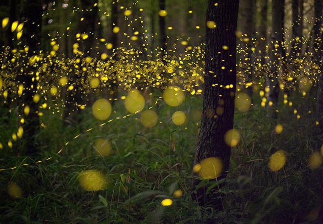 Guia identifica vaga-lumes pelo formato e a duração das luzes