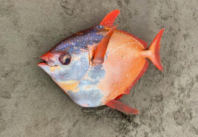 Peixe tropical de quase 50 kg é achado em praia da costa oeste dos EUA