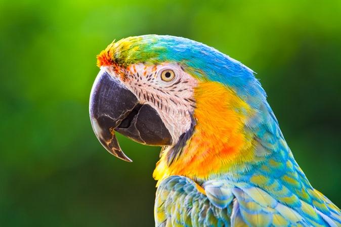 Animais em extinção no Brasil: confira a lista dos principais animais ameaçados
