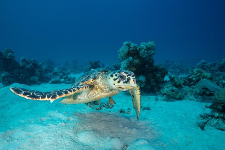 animais em extinção no brasil - tartaruga