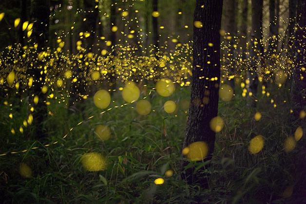 Show de luzes em floresta por vaga-lumes