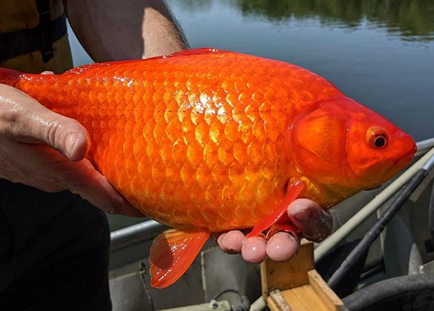 Peixes dourados gigantes nos EUA
