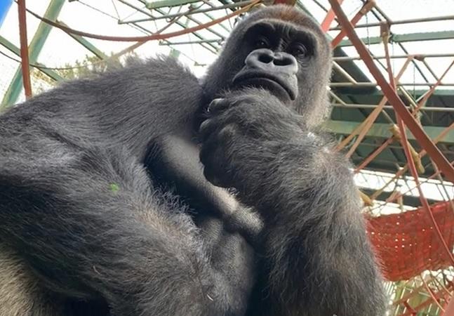 Gorila criado em laboratório sente gostinho da natureza pela 1ª vez