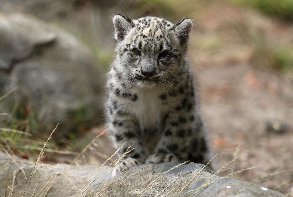Animais em extinção - leopardo das neves