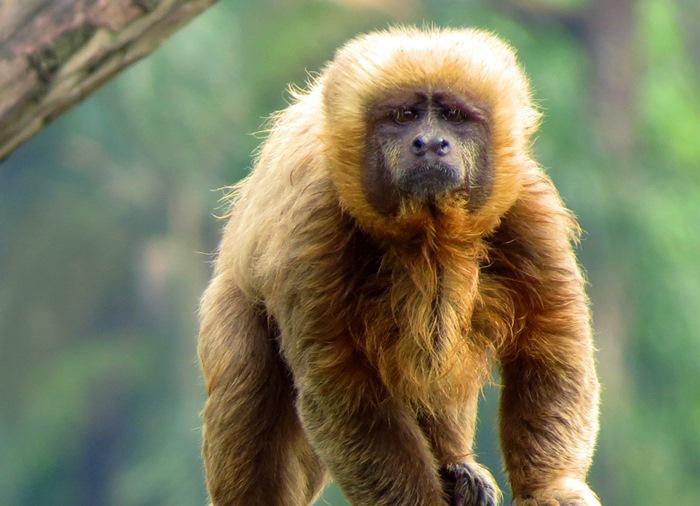 animais em extinção no brasil - macaco prego