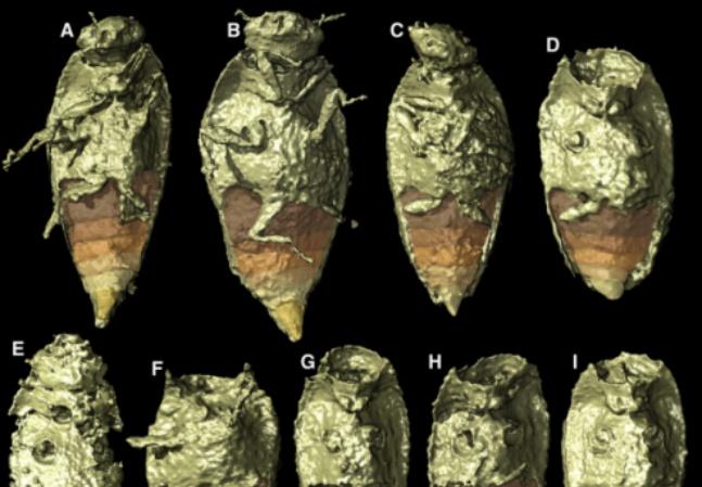 Cocô 'mais antigo do mundo' ajuda ciência a descobrir nova espécie pré-histórica de besouro