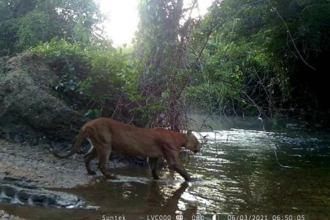 Onça-parda é flagrada pela 1º vez em reserva em GO; felino é o 4º maior do mundo