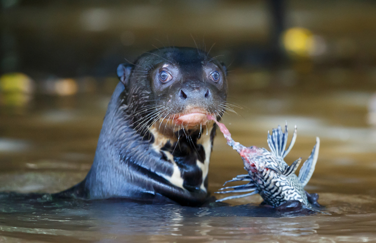 animal em extinção no brasil - ariranha