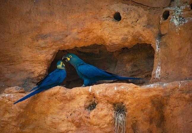 Ararinhas-azuis ameaçadas pela construção de parque eólico na Bahia