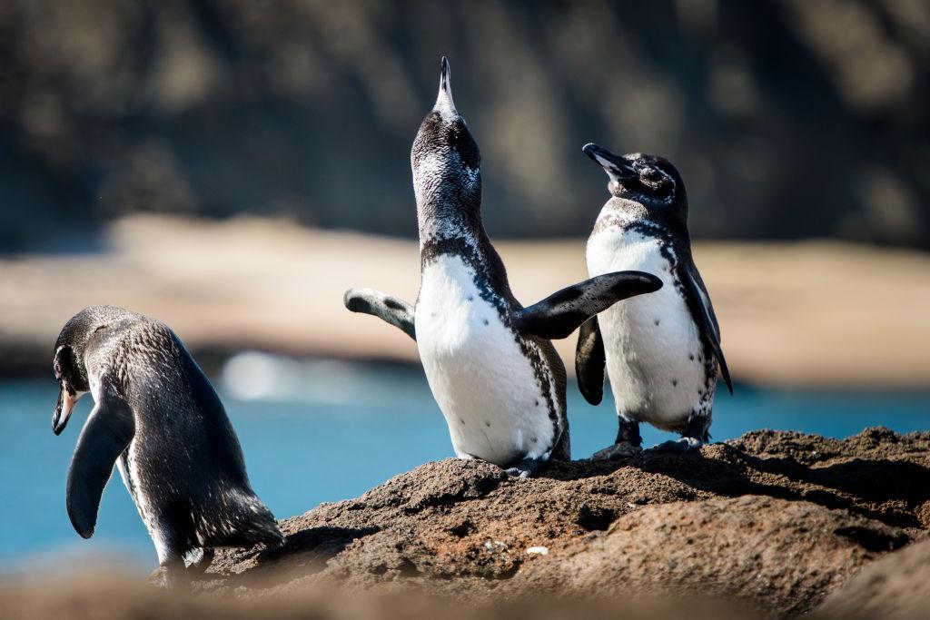 Animais em extinção - pinguins