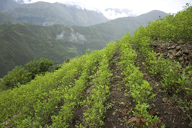 Plantação de coca na Colômbia