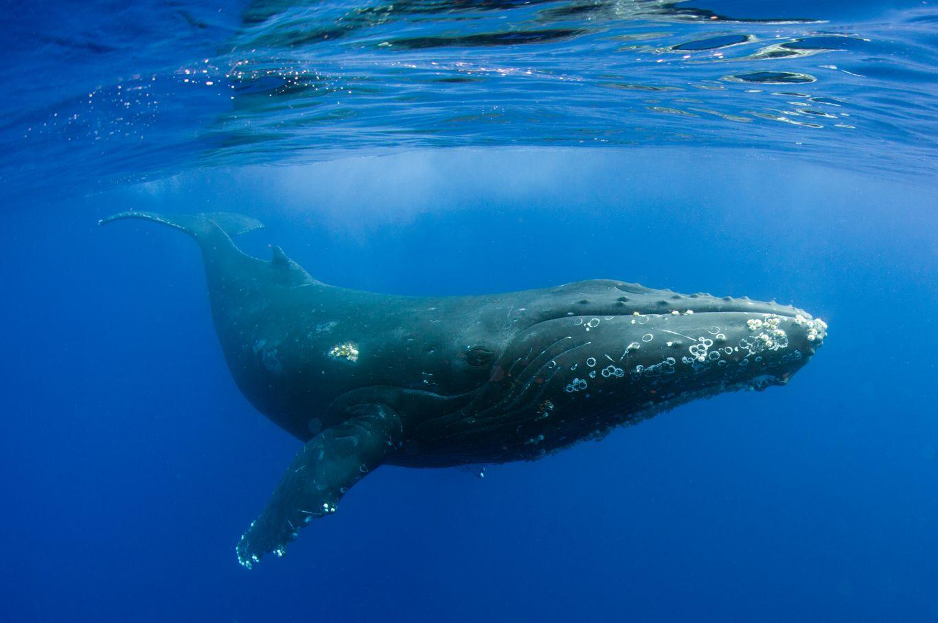 Baleia jubarte Baía de Guanabara