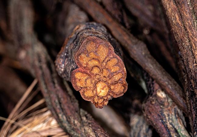 USP inicia experimento com ayahuasca para tratar receio de falar em público