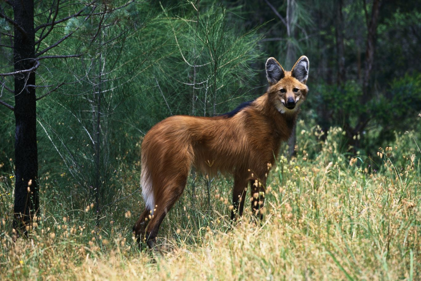 animais em extinção no brasil - lobo guará
