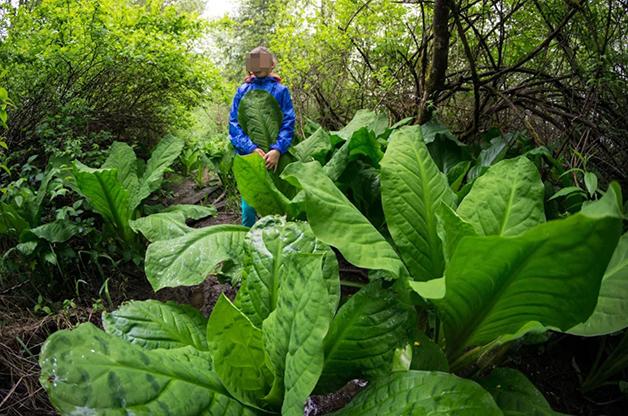 As plantas gigantes da ilha de Sakhalin