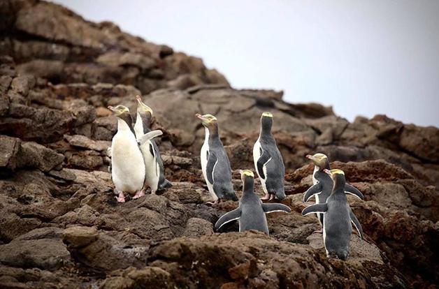 Pinguins na Nova Zelândia