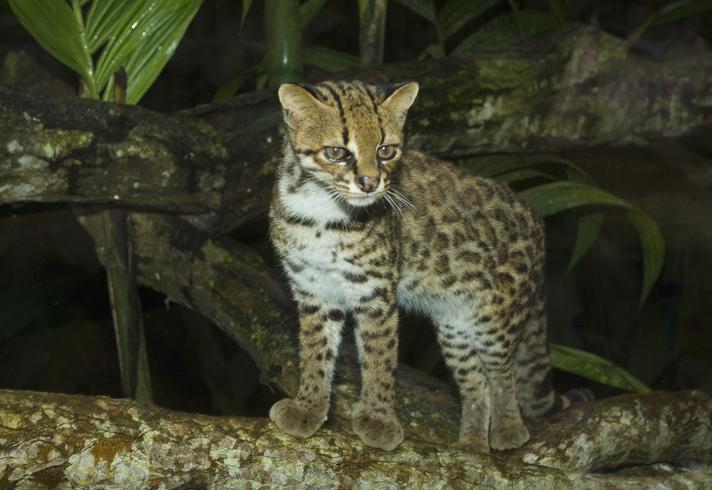 animais em extinção no brasil - gato-do-mato-pequeno