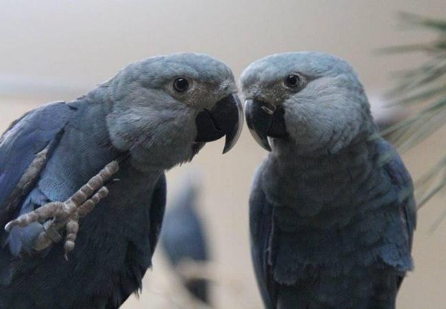 Ararinhas-azuis nascem no Brasil após 20 anos de extinção