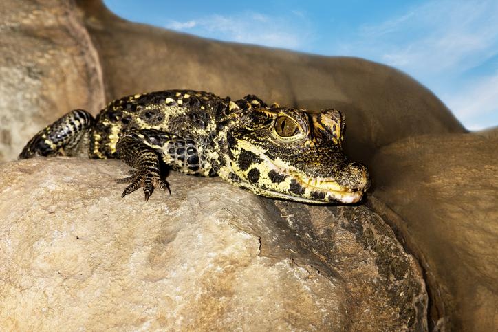 animais em extinção no brasil - jacaré do papo amarelo