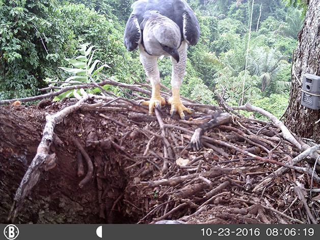 Uma das aves registradas na Amazônia pela pesquisa