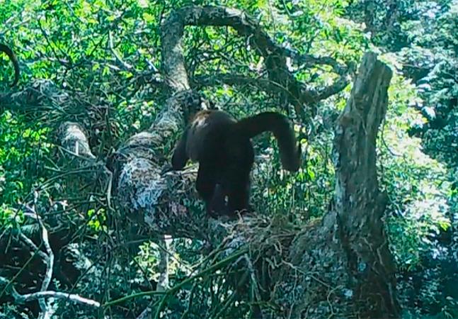Macacos bugio são vistos na Floresta da Tijuca pela 1ª vez em 200 anos