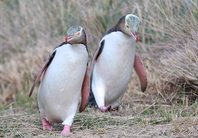 Hospital cuida do pinguim-do-olho-amarelo na Nova Zelândia para impedir a extinção da rara espécie