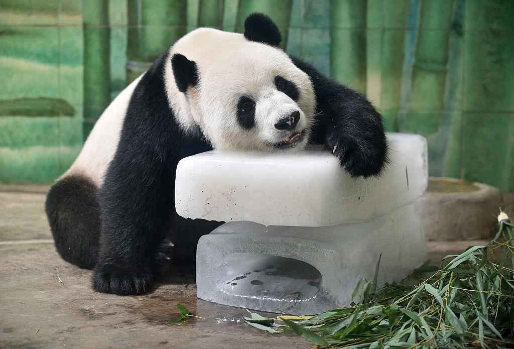 Animais em extinção - panda