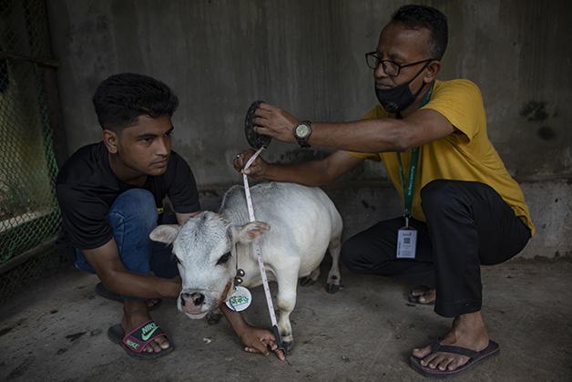 Vaca Rani