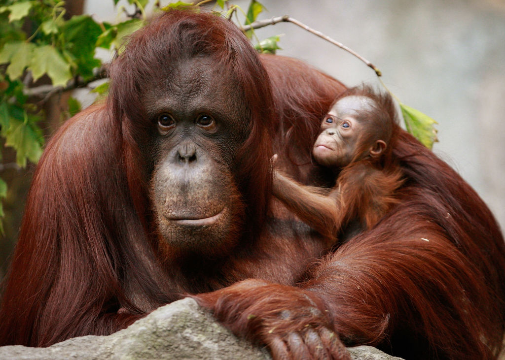 animais em extinção - orangotango