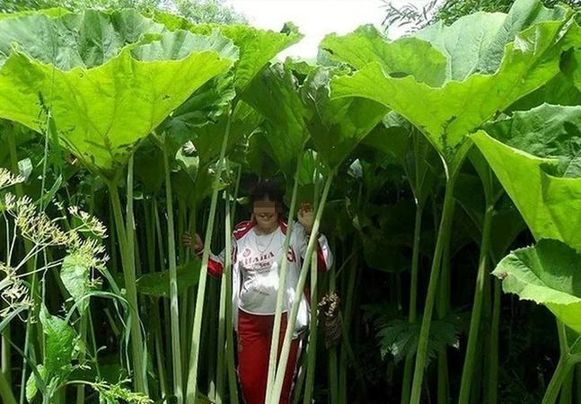 A lendária floresta de plantas gigantes de Sakhalin, na Rússia
