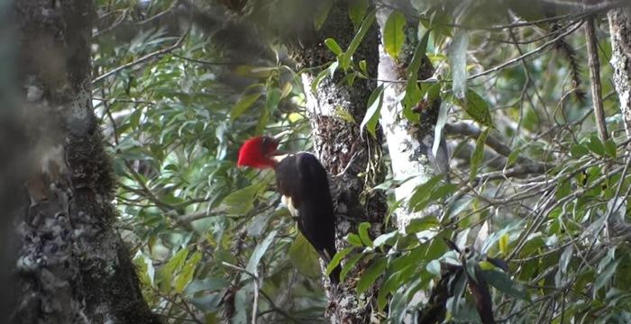 animais em extinção no brasil - pica-pau
