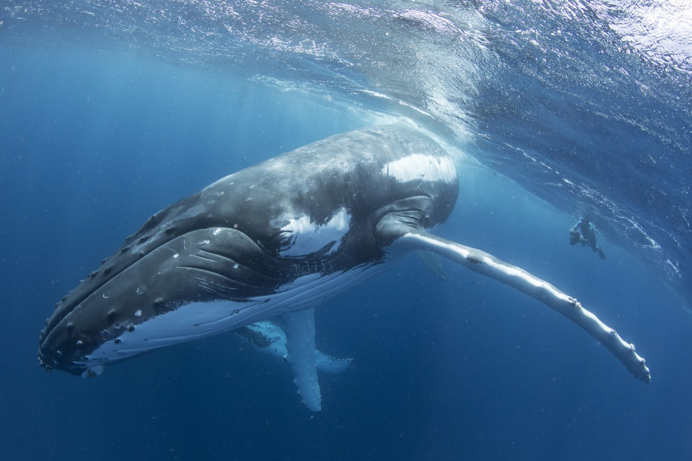 baleia-jubarte Santa Catarina
