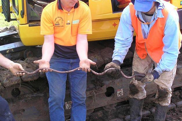 minhoca gigante australiana