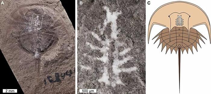 fossil caranguejo
