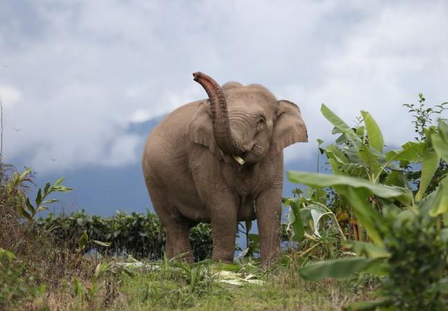Manada de elefantes percorre 500 km em jornada espetacular de 17 meses