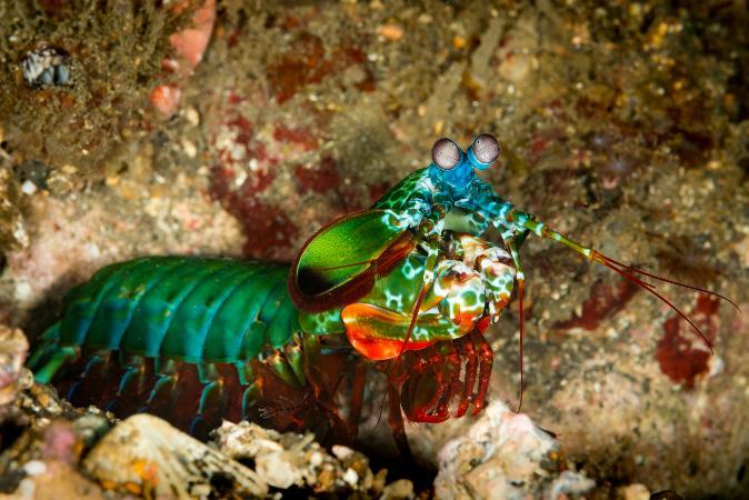Camarão mantis: o animal com o soco mais potente da natureza capaz de destruir aquários