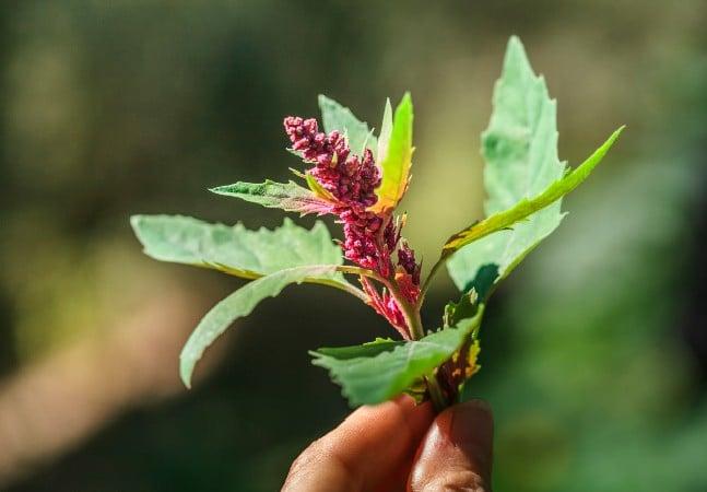 Amaranto: os benefícios de uma planta de 8 mil anos que poderia alimentar o mundo