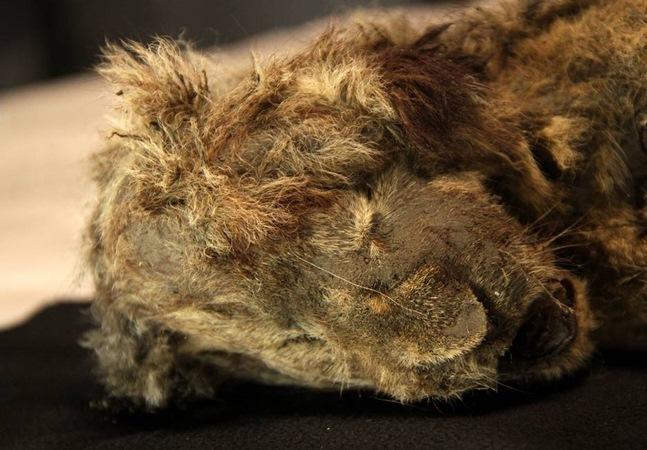 Leão das cavernas encontrado na Sibéria tem 28 mil anos e dá pistas sobre evolução da espécie