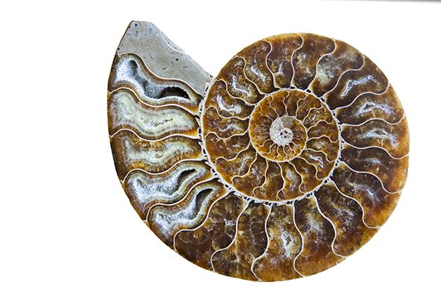A proporção áurea em um fóssil de uma concha de milhares de anos